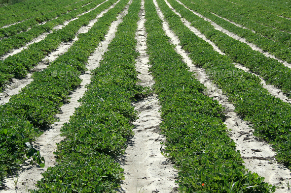 Crop rows - Stock Photo - Images