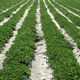 Crop rows - PhotoDune Item for Sale