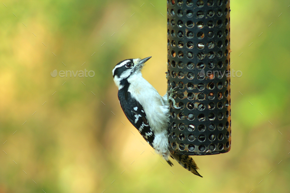 Female Downy Woodpecker - Stock Photo - Images