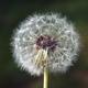 Dandelion clock - PhotoDune Item for Sale