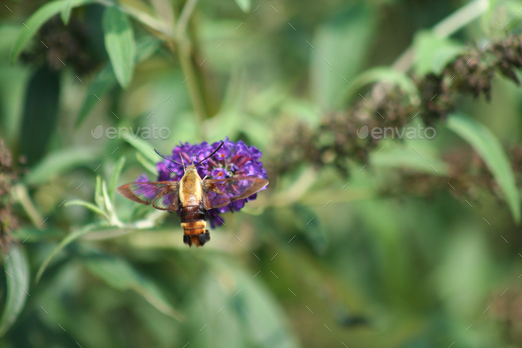 Snowberry Clearwing hummingbird Moth - Stock Photo - Images
