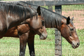 Two brown horses - PhotoDune Item for Sale