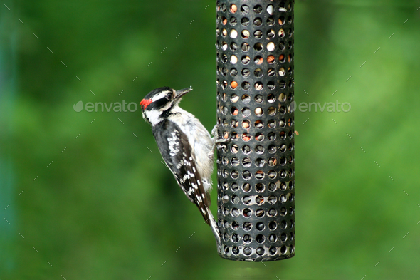 Downey Woodpecker at birdfeeder - Stock Photo - Images