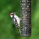 Downey Woodpecker at birdfeeder - PhotoDune Item for Sale