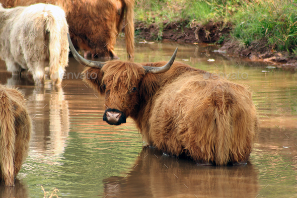 Highland cow - Stock Photo - Images