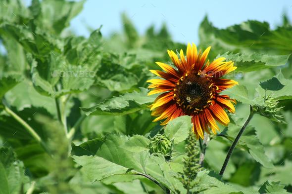 Sunflower - Stock Photo - Images