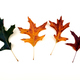 Oak leaf color changes - PhotoDune Item for Sale