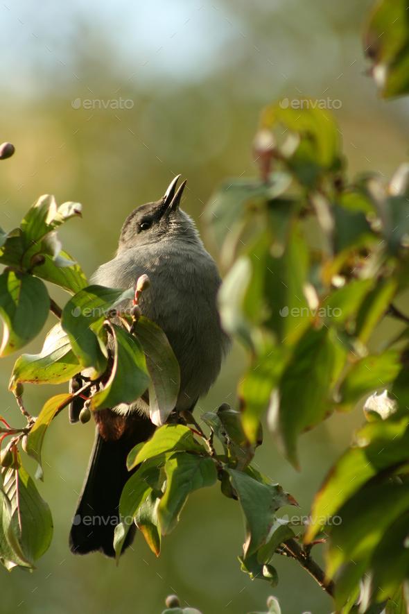 Gray catbird - Stock Photo - Images