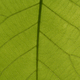 Leaf Veins - PhotoDune Item for Sale