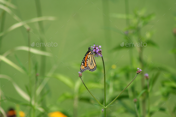 Orange Monarch Butterfly - Stock Photo - Images