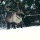 Deer Walks in Winter Forest. - VideoHive Item for Sale