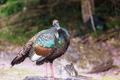 Turkey in Guatemala - PhotoDune Item for Sale