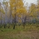 Along Birch Grove. Above the Deciduous Forest in Autumn - VideoHive Item for Sale