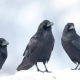Pack of Ravens. - VideoHive Item for Sale