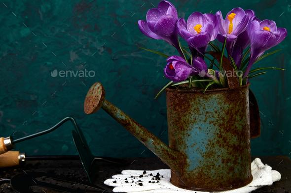 Crocus flower in watering pot. Spring, Gardening tools - Stock Photo - Images