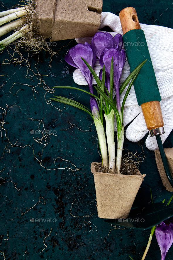 Gardening tools, peat pots, crocus flower. spring - Stock Photo - Images