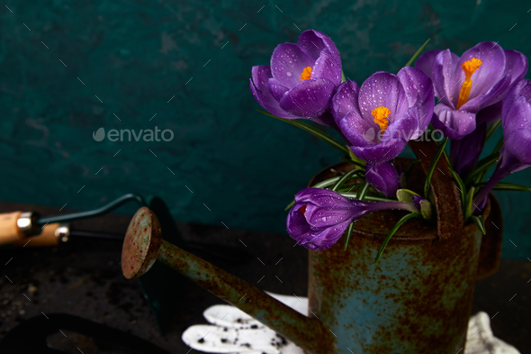 Crocus flower in watering pot. Spring, Gardening tools - Stock Photo - Images