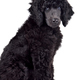 Black poodle - PhotoDune Item for Sale