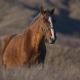Brown Horse with a White Stripe on the Face - VideoHive Item for Sale