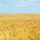 Wheat field against sun light - PhotoDune Item for Sale