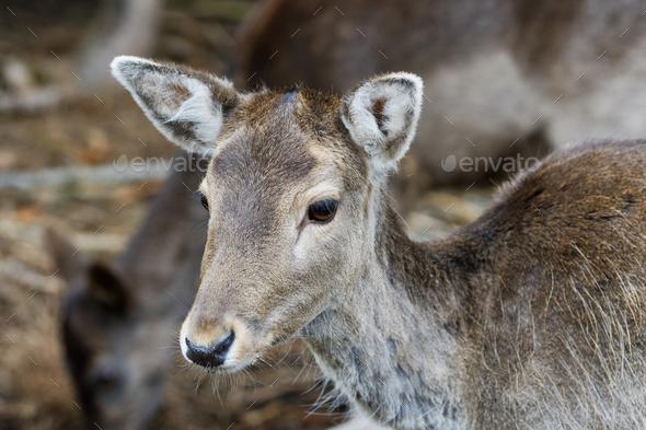 Portrait of fallow deer (Dama dama) - Stock Photo - Images