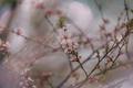 Blossom cherry - PhotoDune Item for Sale