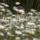 Daisies on a Meadow  - VideoHive Item for Sale