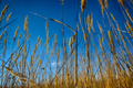 Close up of dry grass from the ground. - PhotoDune Item for Sale