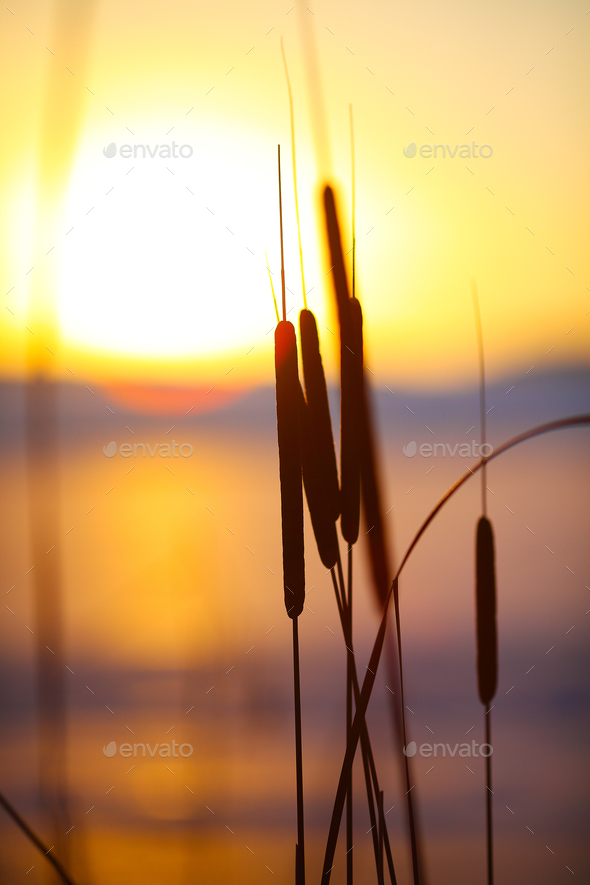 silhouette of reeds at sunset - Stock Photo - Images