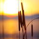 silhouette of reeds at sunset - PhotoDune Item for Sale