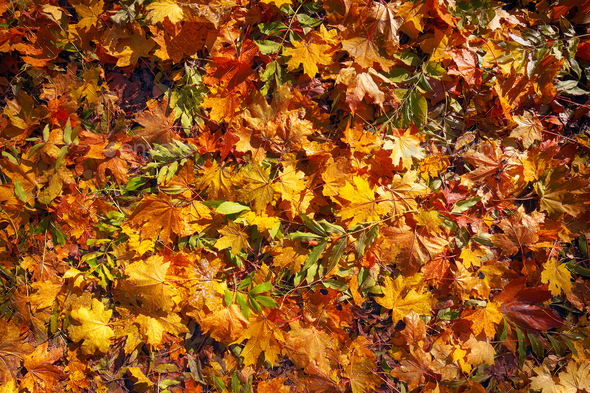 Colorful background of fallen autumn leaves - Stock Photo - Images