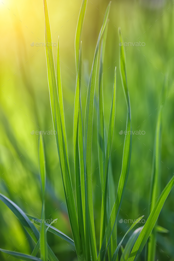 fresh spring grass - Stock Photo - Images