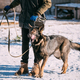 German Shepherd Dog Near Owner During Training. Winter Season. T - PhotoDune Item for Sale