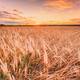 Wheat Field At Sunset Sunrise Background. Colorful Dramatic Sky - PhotoDune Item for Sale