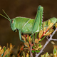 Garden locust on plant - PhotoDune Item for Sale