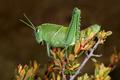 Garden locust on plant - PhotoDune Item for Sale