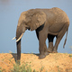 African elephant in natural habitat - PhotoDune Item for Sale