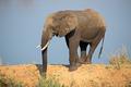African elephant in natural habitat - PhotoDune Item for Sale