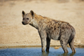 Spotted hyena in water - PhotoDune Item for Sale