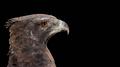 Martial eagle portrait - PhotoDune Item for Sale