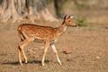 Female spotted deer - PhotoDune Item for Sale