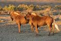 Black wildebeest - PhotoDune Item for Sale