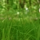 Green Grass Swaying in the Wind in the Forest - VideoHive Item for Sale