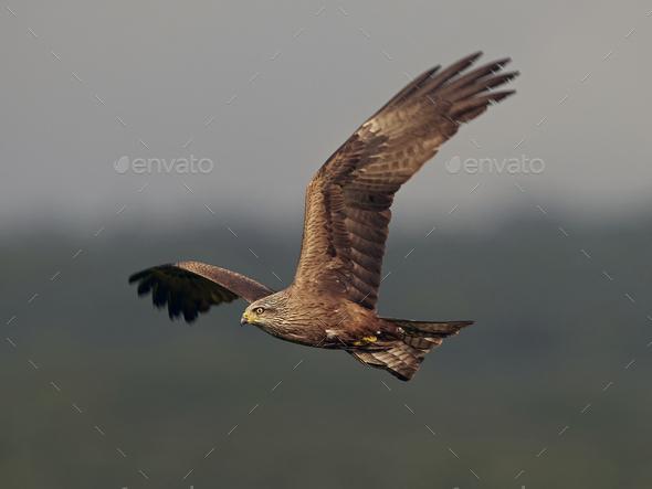 Black kite (Milvus migrans) - Stock Photo - Images