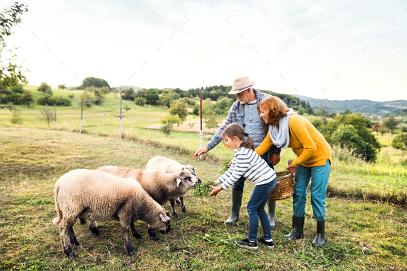 Senior couple with granddaughter feeding sheep on the farm. - Stock Photo - Images