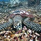 Hawksbill Sea Turtle Feeds on Dead Staghorn Coral - VideoHive Item for Sale