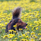 Dachshund on the dandelions meadow - PhotoDune Item for Sale