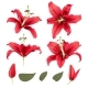 Vector Realistic Lily Flower Blossom Set - GraphicRiver Item for Sale