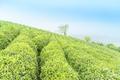 tea plantation in spring - PhotoDune Item for Sale