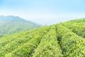 green tea plantation in spring - PhotoDune Item for Sale